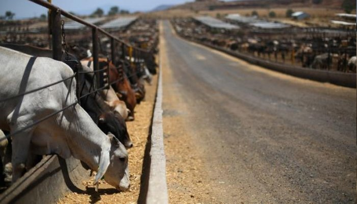 Certified beef cattle eat from a feeding fence at a SuKarne meat processing facility in the town of Vista Hermosa, in Michoacan state, Mexico, March 31, 2017. Picture taken March 31, 2017. REUTERS/Edgard Garrido