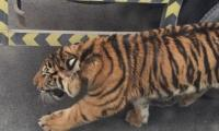 Tigers kill one, injure one in China wildlife park