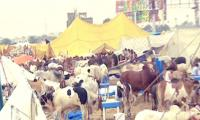 The state of Karachi's cattle market