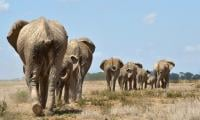 African elephants suffer worst decline in 25 years