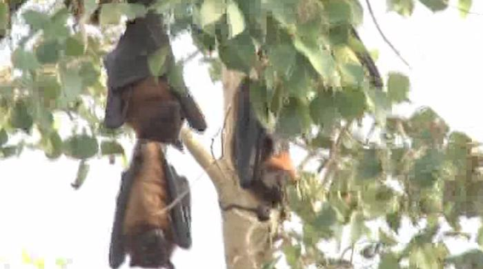 Watch this video of frightening bats in Sukkur