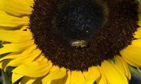 Sugar gives bees a happy buzz: study