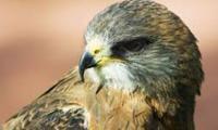 Indian forces arrest 'spy hawk' from Pakistan
