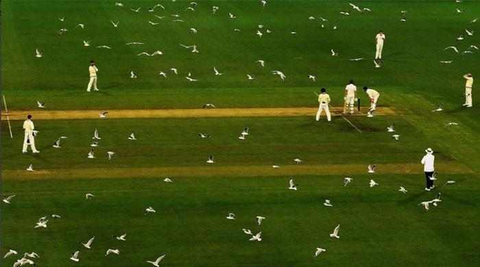 Watch this army of seagulls take over Melbourne Cricket Ground
