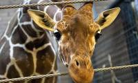 Giraffes 'threatened with extinction'