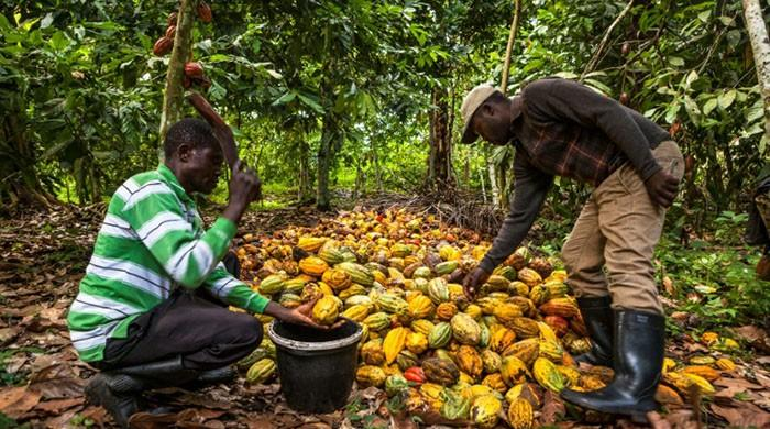 Congolese cocoa waits for peace to pursue sweet future
