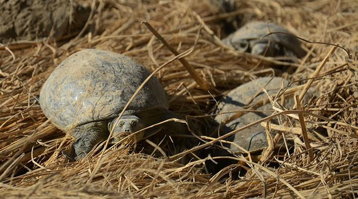 Indian police rescue 6,000 turtles in 'largest' haul