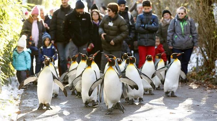 Doctors advise Germans to walk like penguins on ice