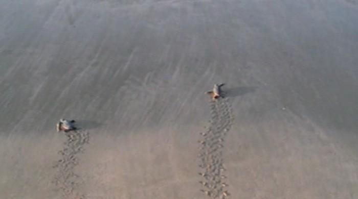 Over 100 endangered green turtles appear on Karachi coast