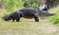Giant alligator caught on camera is a real deal