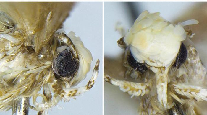 Small moth with yellowish coif named after Donald Trump