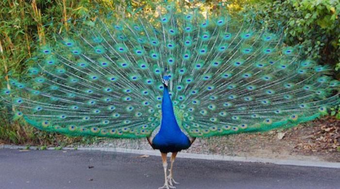 9 peacocks die of Ranikhet disease over two days in Tharparkar