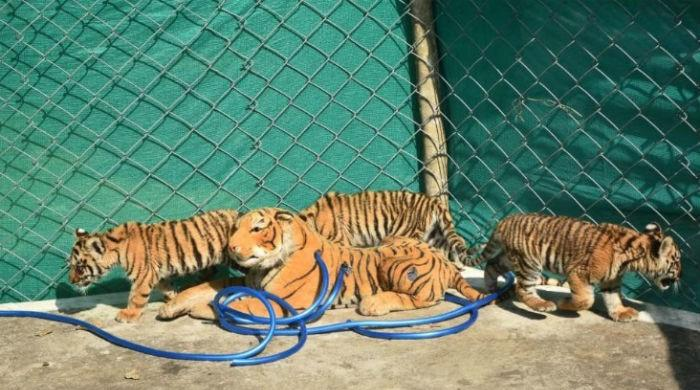 Stuffed tiger helps three cubs regain health in India