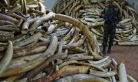 Gabon's forest elephants slain for ivory at alarming rate