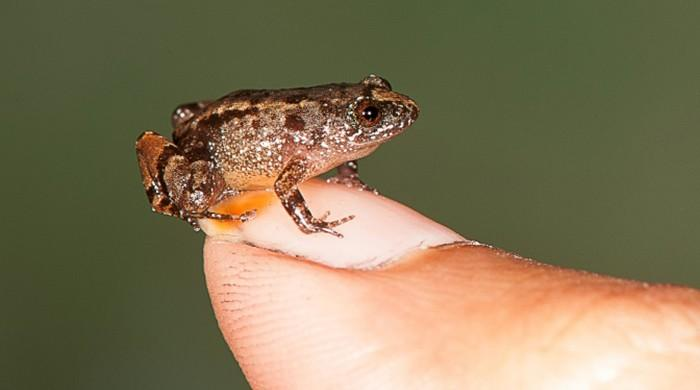 Scientists find four new miniature frog species in India