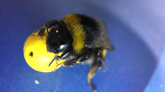 Bees learn to roll a ball for food