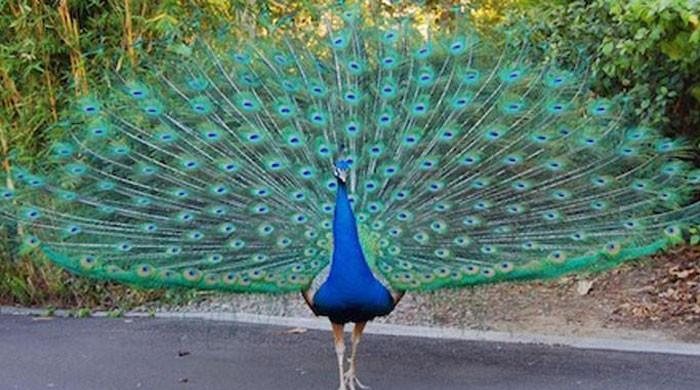 25 peacocks die in a week in Tharparkar due to Ranikhet