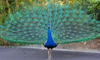 25 peacocks die in a week in Tharparkar due to Ranikhet
