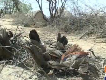 تھر میں متعدی امراض سے مور کی ہلاکتوں میں اضافہ، 150مور ہلاک