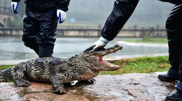 13,000 alligators wake up for spring in China