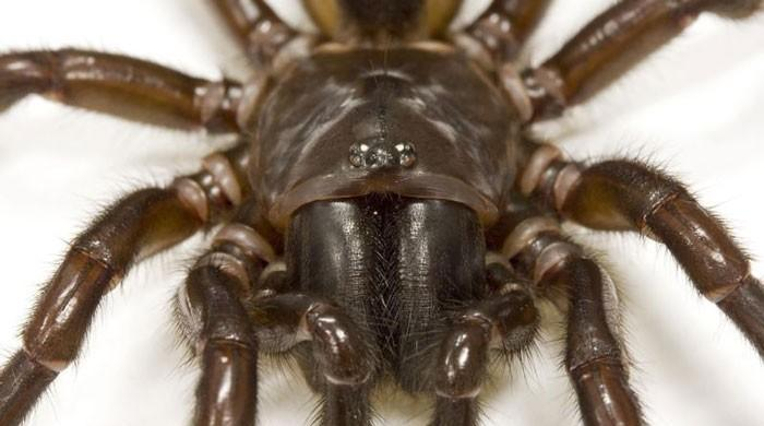 Spider venom may offer hope to stroke victims: scientists