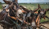 China´s demand for medicine fuels African donkey slaughter
