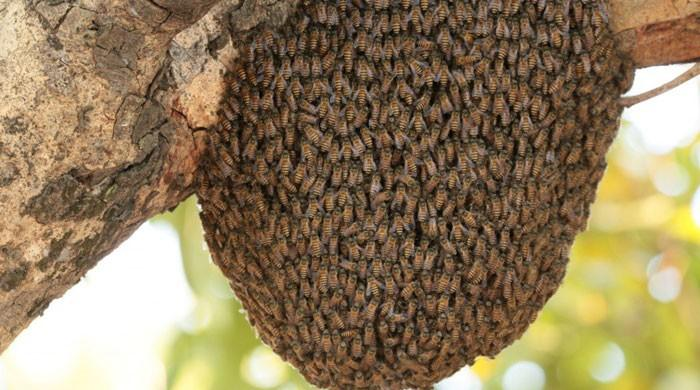 Honeybees sting one to death in Islamabad university