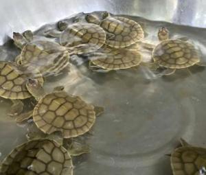 Hatchlings raise hope for Cambodia's endangered 'Royal Turtle'