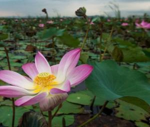 After 10-year gap, Thai lotuses bloom again