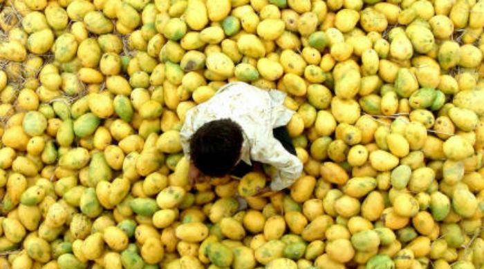 Pakistan expected to export 100,000 metric tonnes mangoes
