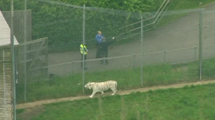 Female zookeeper dies in UK tiger 'freak accident'