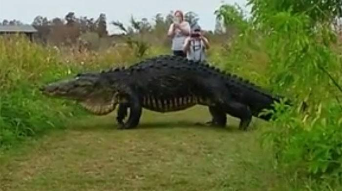 WATCH: Massive alligator casually walking like a pro