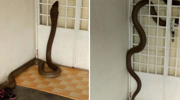 WATCH: Massive cobra slithers into man's home, spends 3 days inside