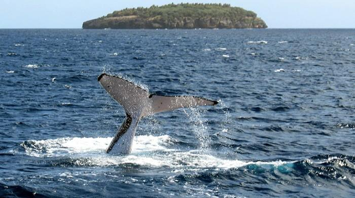 Whales shrank before populations crashed: study