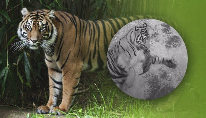 Sumatran Tiger Cub Born at National Zoo