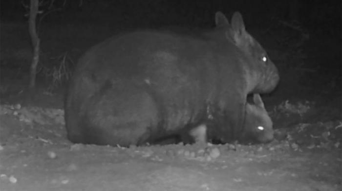 Rare birth of endangered hairy-nosed wombat in Australia