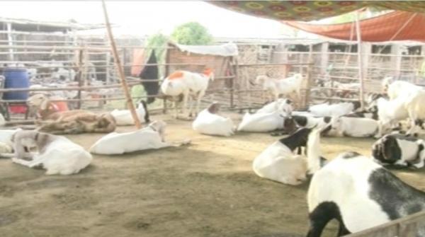 Turkish sheep wowing visitors in cattle market in Multan