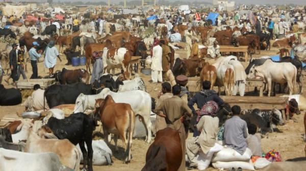 سہراب گوٹھ: ایشیا کی سب سے بڑی مویشی منڈی