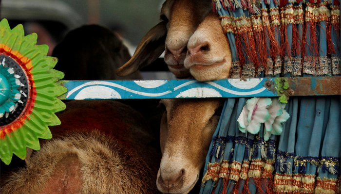 Sheep are seen peeping outside through the window of a van as they are transported from a livestock market, ahead of the Eid-ul-Azha in Pakistan, September 1, 2017/REUTERS