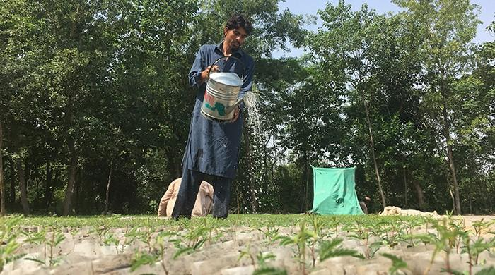 KP is almost done planting one billion trees. Are the other provinces up for the challenge?