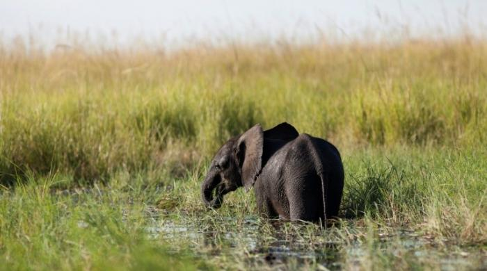 Nine stray elephants electrocuted in Botswana