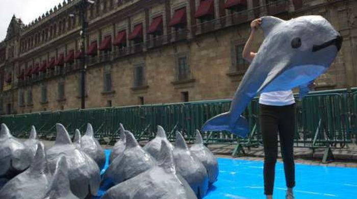 Mexico catches, releases endangered vaquita porpoise