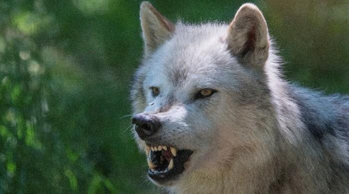 Scientists find blood molecule that attracts wolves, repels humans