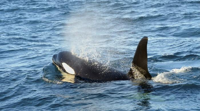 Killer whale spotted near Churna Island