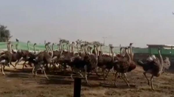 Ostrich meat now available for food enthusiasts in Rawalpindi