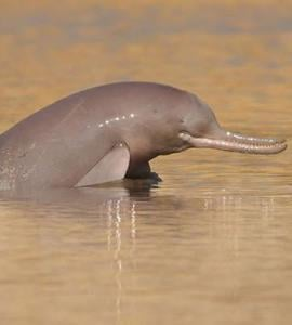 Indus River Dolphin numbers on the rise, WWF study reveals