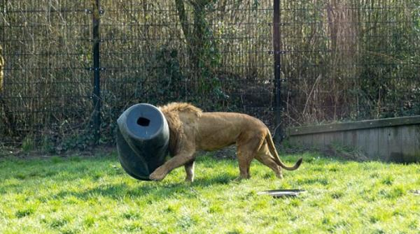 Lion gets head stuck in barrel at Dutch zoo