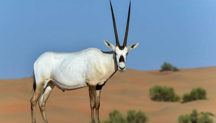 Oman opens sprawling oryx reserve to ecotourists | World ...