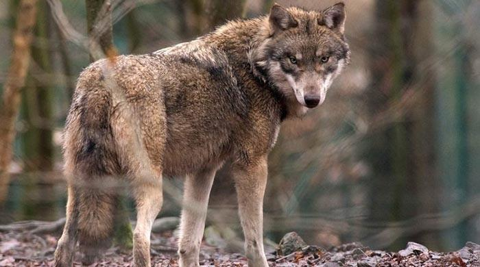 Wolf found in northern Belgium, first time in over 100 years