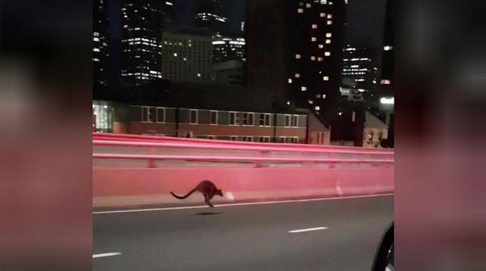 Wallaby leads police chase over Sydney Harbour Bridge